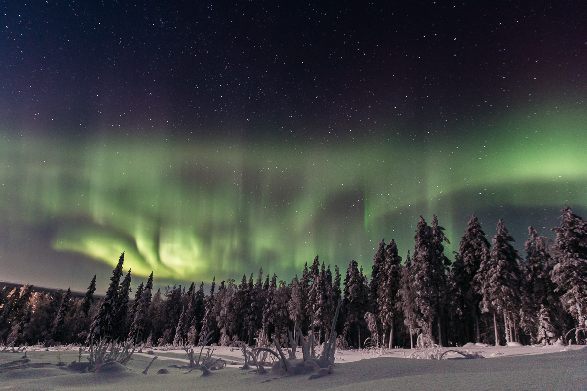 Northern Lights over pine forest
